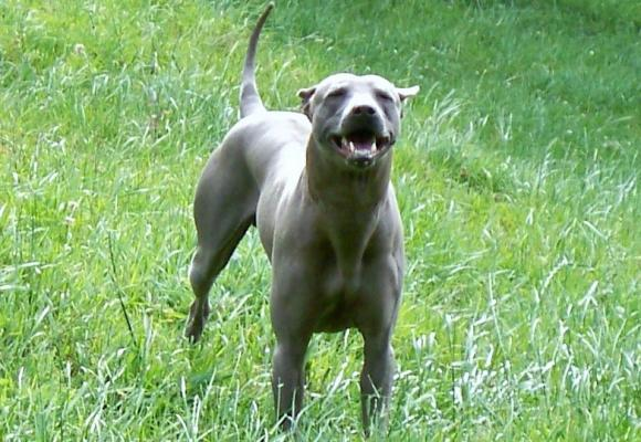 New Zealand Thai Ridgeback Dog Breeders - BlueStone ...